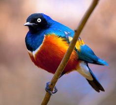 Blue and orange bird.