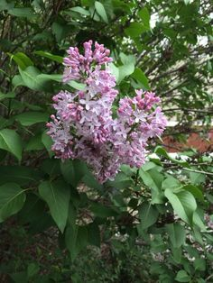 Lilac (syringa vulgaris): Your shrub is likely a lavender-flowered common lilac, Syringa vulgaris, but there is nothing common about its lovely perfume or flower clusters. It grows best in full sun with regular soil moisture.  Good air circulation insures that foliage will remain free of powdery mildew.