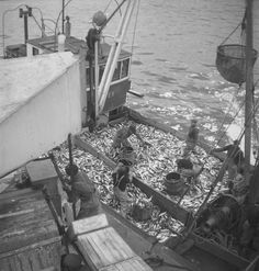 Storsildfiske. Sildesnurpere ved Ålesund og sildedrivfangstbåt ved mottaksanlegget i Fosnavåg. - Sverresborg Trøndelag Folkemuseum / DigitaltMuseum Fishing Boats