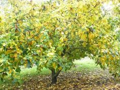MEDLAR ~ NOTTINGHAM ~ Mespilus germanica - Trees Direct Ltd