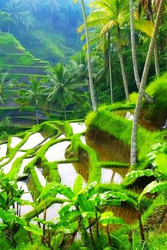 Rice Terraces, Ubud, Bali, Indonesia