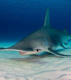 Requin-marteau : les îles Bimini, un archipel des Bahamas, abritent de nombreuses espèces marines parmi lesquelles on trouve quelque fois ces grands requins-marteaux