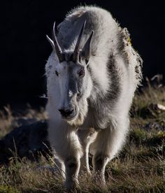 Brooke Bartleson has donated this amazing framed mountain goat photograph for the #bbb16 silent auction! It would look great in my living room or yours!