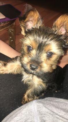 Teacup Terrier, Dogs, Animals, Animales, Animaux, Doggies, Animais, Dog, Animal