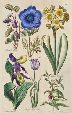 Double Violet, Great Purple Anemone, Golden Narcissus, Lady's Slipper, Purple Edg'd Tuplip, Psidium.    From: Eden: or, A Complete Body of Gardening by John Hill, London, dated 1757.