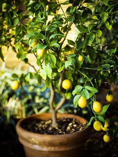 Tangy and sour, lemon adds flavor in every cuisine. Learn how to grow a lemon tree in pot in this informative article