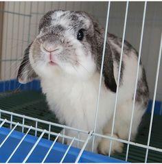 Kawaii Bunny, Cute Bunny, Bunny Rabbit, Cute Baby Animals, Animals And Pets, Rabbit Life, Baby Puppies, Guinea Pigs, Funny Cute