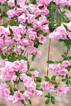 Delicate Pink Azaleas by Carol Groenen