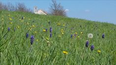 Spring is in the air (on the background you can see the small church on the hill of San Fermo, Merana)