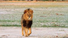 Zimbabwe's 'iconic' lion Cecil killed by hunter - BBC News