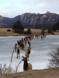 Morning commute in Estes Park, SO much traffic today!