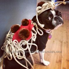 "Maddie the Boston Terrier as ""Spaghetti & Meatballs""... Coolest Halloween Costume Contest"