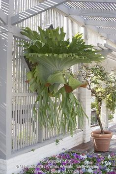 Moosehorn Fern (Platycerium superbum) epiphyte, in shade house, at Corona Del Mar CA USA Staghorn Plant, Fern Plant, Trees To Plant, Staghorn Fern Mount, Unusual Plants, Rare Plants, Exotic Plants, Hanging Plants, Indoor Plants
