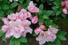 ******** evergreen azalea Rhododendron 'Betty Anne Voss': Delivery by Crocus
