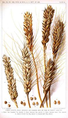 Botanical - Educational plate - Wheat varieties.jpg (986×1708)