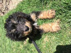 Meet Sully, one of our new friends! Gosh aren't we lucky to meet such a cute #bernadoodle #puppy? 🐕