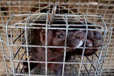 Reino Unido avança na proibição da venda de peles de animais - GreenMe Brasil Ferret, California, Peles, Foodie, Fitness, Animal Welfare, Animals, Vegetarian, Brazil