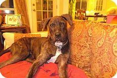 Baton Rouge, LA - Great Dane Mix. Meet Roman (Courtsey Listing), a dog for adoption. http://www.adoptapet.com/pet/13715508-baton-rouge-louisiana-great-dane-mix