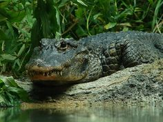 The Chinese alligator (Alligator sinensis) is critically endangered species endemic to eastern China. Rainforest Animals, Zoo Animals, Amazon Rainforest, Wild Animals, Crocodiles, Alligators, Lionhead Rabbit, Rabbit Breeds, Animaux