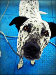 Rottweiler Mix cross breed BowWow Times dalmatian