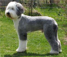 Old English Sheepdog Grooming- Haircut: Sport Clip