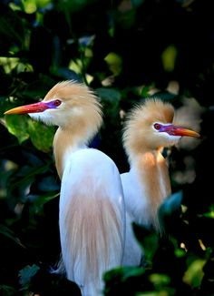 Yellow-head Herons ~ By Grace Kin. Beautiful!!