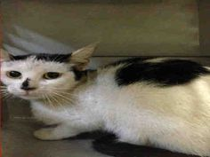 CHILI PEPPER - A1048972 - - Manhattan **TO BE DESTROYED 08/28/15** CHILI PEPPER and her BFF, Pearl Jam, are two kittens who were brought into the ACC when their former owner passed away. The ACC loves to split up housemates and they also love to kill cats, so this is shaping up to be a win-win for them. They have put CHILI PEPPER on tonight's list and that's about all they have done for her. One night of a little more exposure, and then BAM!, a lethal injection