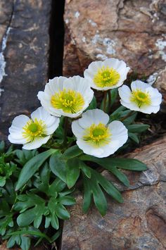 Rock Flowers, Flowers Nature, Exotic Flowers, Beautiful Flowers, Alpine Flowers, Alpine Plants, Small White Flowers, White Wedding Flowers, Bridal Flowers