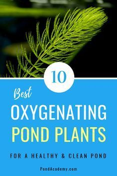 Pond plants can reduce algae, clean your water and supply vital oxygen. But, which plants should you choose? Here are the 10 best oxygenating pond plants for your pond or water garden! Patio Pond, Diy Pond, Pond Landscaping, Landscaping With Rocks, Tropical Landscaping, Water Plants For Ponds, Water Garden Plants, Koi Ponds, Bog Garden