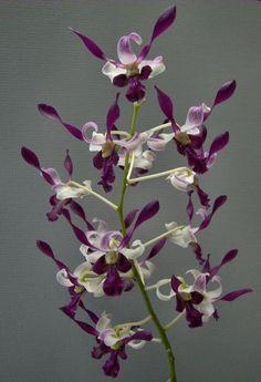 Dendrobium Lili's Shadow