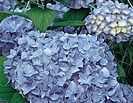 Nikko Blue Hydrangea - trying this next to the house where I haven't been able to get anything else to grow!