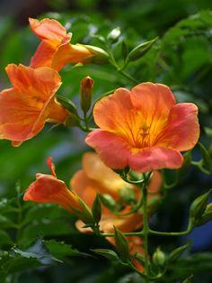 Chinese trumpet vine (Campsis grandiflora)