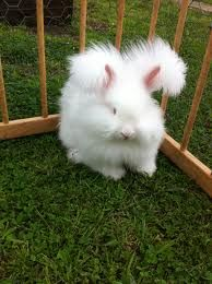 Rabbit Breeds - Angora rabbits are adorable as pets but have intensive grooming needs. Angora Bunny, Angora Rabbit, Pet Rabbit, Lionhead Bunnies, Lionhead Rabbit, Funny Bunnies, Baby Bunnies, Cute Bunny, Easter Bunny