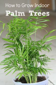 Growing indoor palm trees is easy if you pay attention to light, humidity, and soil conditions. We'll tell you what species of palm tree to buy and how to grow them. Palm Trees Garden, Indoor Palm Trees, Indoor Palms, Diy Garden, Indoor Garden, Garden Plants, Ficus Pumila, Palm Plant, Trees To Plant