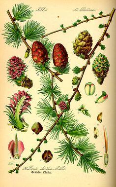 Flora von Deutschland Österreich und der Schweiz (1885)                                                                                                                                                                                 Mehr
