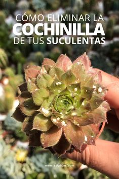 How to get rid of mealybugs on succulents Types Of Succulents Plants, Planting Succulents, Suculent Plants, Succulent Care, Love Garden, Garden Pests, Ornamental Grasses, Exotic Plants, Flower Seeds