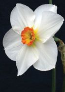 VERGER daffodil from OldHouseGardens.com