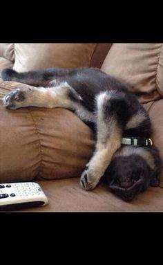 German shepherd sleeping, terrible sence