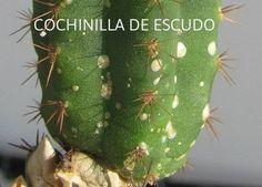 La página más grande de Cactus y Crasas en el mundo: CUIDADOS DE LOS CACTUS Cómo curar los cactus e identificar plagas fácilmente !!!!! Clickeá ! Cactus Y Suculentas, Grande, Christmas Bulbs, Succulents, Coconut, Diy Crafts, Holiday Decor, Green, Gardening