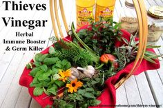 Thieves Vinegar - Immune Booster and Germ Killer Thieves Vinegar - Herbal remedy historically used to fight the Plague, these recipes use antiviral and antibacterial herbs to boost immunity and fight germs Healing Herbs, Medicinal Herbs, Homeopathic Remedies, Health Remedies, Natural Medicine, Herbal Medicine, Homeopathic Medicine, Herbs For Health, Alternative Health
