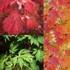 Acer palmatum 39 orange dream 39 japanese maple tree acer palmatum japanese maple and acer - Erable du japon orange dream ...