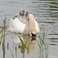 Swan Love, Beautiful Swan, Beautiful Birds, Animals Beautiful, Baby Animals, Cute Animals, Animal Babies, The Swan Inn, On Golden Pond