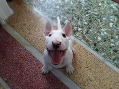 Happy #Bull #terrier #puppy