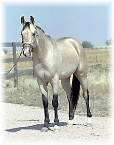 Name:Silver Sunshine  Breed:Quarter Horse  Age:4  Color:Silver Buckskin  Gender:Stallion  Height:16.5  Dam:Unknown  Sire:Unknown  Skills:Reining, Roping,