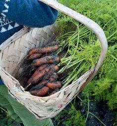 Viljele omat porkkanasi – näin onnistut