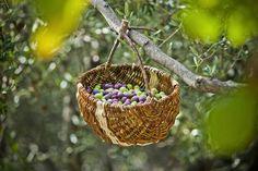 Olive harvest in Makarska, Croatia