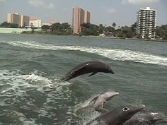 Dolphin tours in Clearwater Florida. Over an hour on the water for 12 bucks and plenty of dolphins.