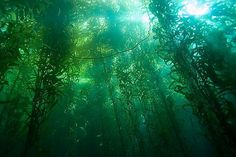Kelp-Forest-oceans-34416311-500-334_large.jpg (480×321)