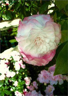 Romantic camellia