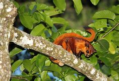 Giant Red Flying Squirrel (Petaurista petaurista)